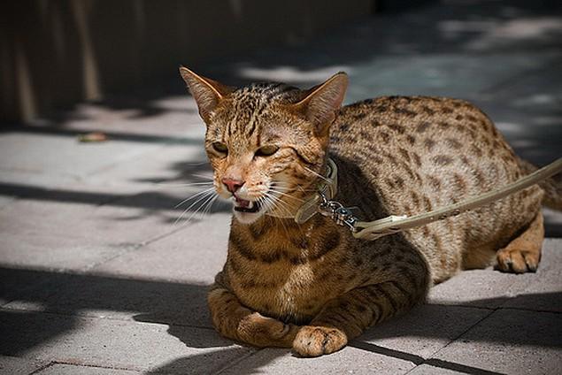 Mačička Afriky